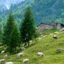 Vaches de race piémontaise