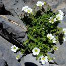 Saxifrage, goutte végétale perdue dans océan rocheux