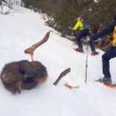 Carcasse de Cerf prélevé par le Loup en Clarée