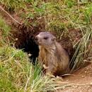 Petit Marmotton
