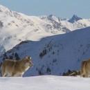 Loups en Queyras