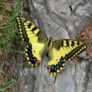 Papillon Machaon - Queyras