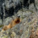 Marmotte - Ecrins