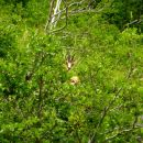 Chamois jouant à cache-cache