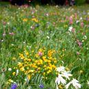 Champs (Symphonie) de fleurs en Queyras