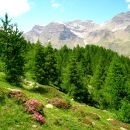 Rhododendrons - Dormillouse - Ecrins
