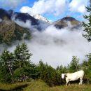 Vache Piémontaise - Val Pellice