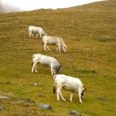 Vache Piémontaise - Val Po