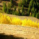 Peupliers Tremble - Automne - Queyras