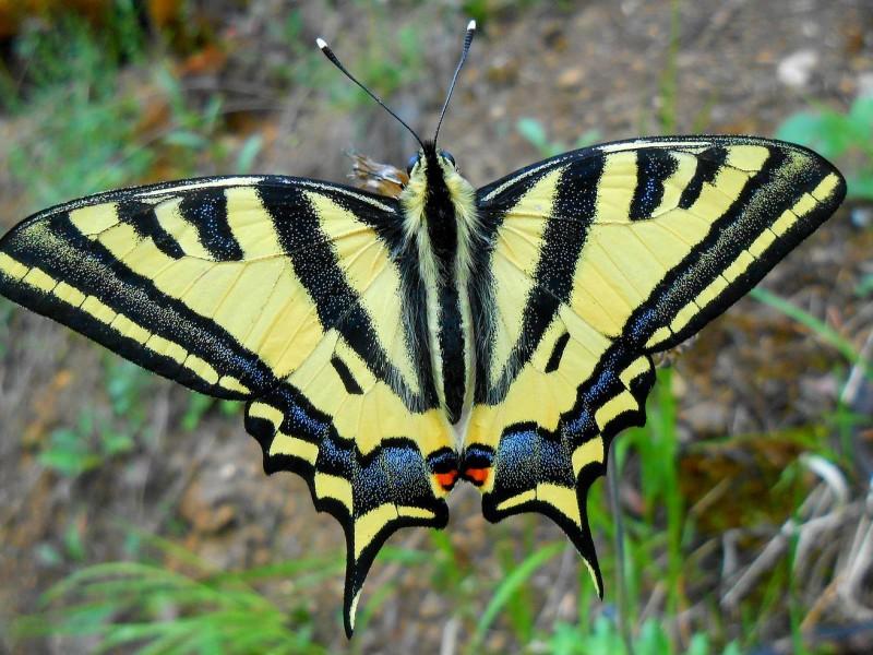 Papillon Machaon