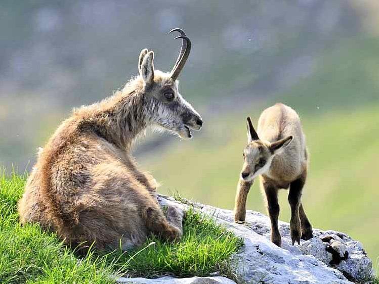 Femelle chamois et son bébé éterlou