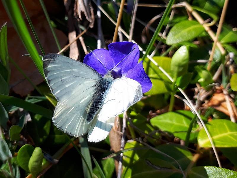Papillon sur pervenche
