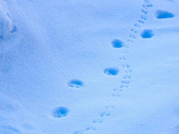Traces de renard suivant sa proie - Raquettes en Queyras