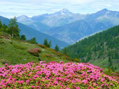 Champs de Rhododendrons - Parc Naturel du Queyras