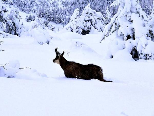 Chamois enneigé dans la forêt de Cervières