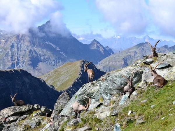 Bouquetins près du Sommet de Hochlicht (Alta Luce) - Massif du Mont-Rose