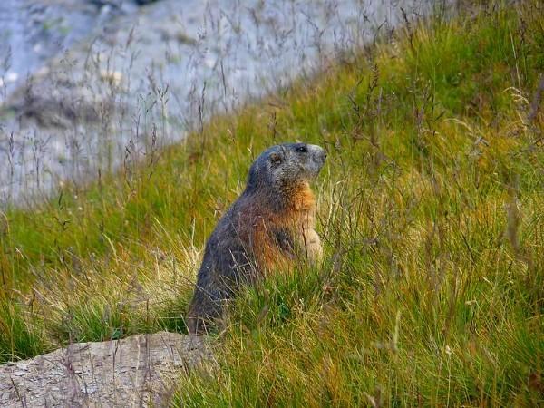 Marmotte - GR54 Tour Ecrins 4 jours