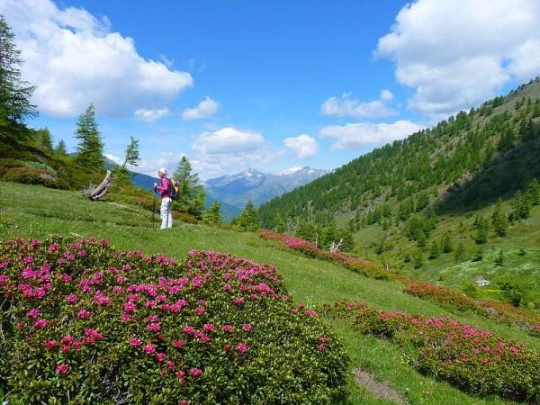 Rhododendrons en Queyras