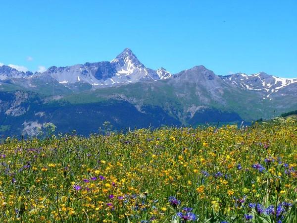 Fleurs des montagnes et Pic de Rochebrune