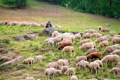 troupeau de mouton et son berger