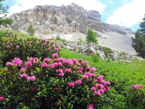 Rhododendrons en Juin